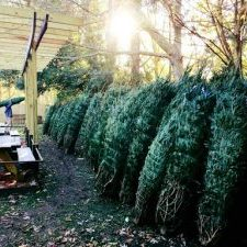 Johnny's Christmas Trees